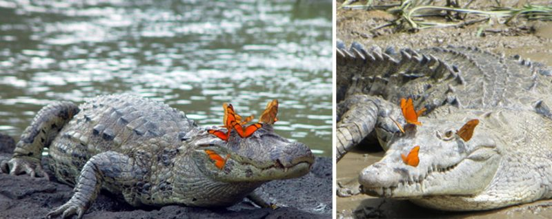 butterflies-drink-turtle-crocodile-tears-lacryphagy-fear-feeding-pictures-2