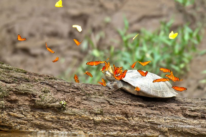 butterflies-drink-turtle-crocodile-tears-lacryphagy-fear-feeding-pictures-4
