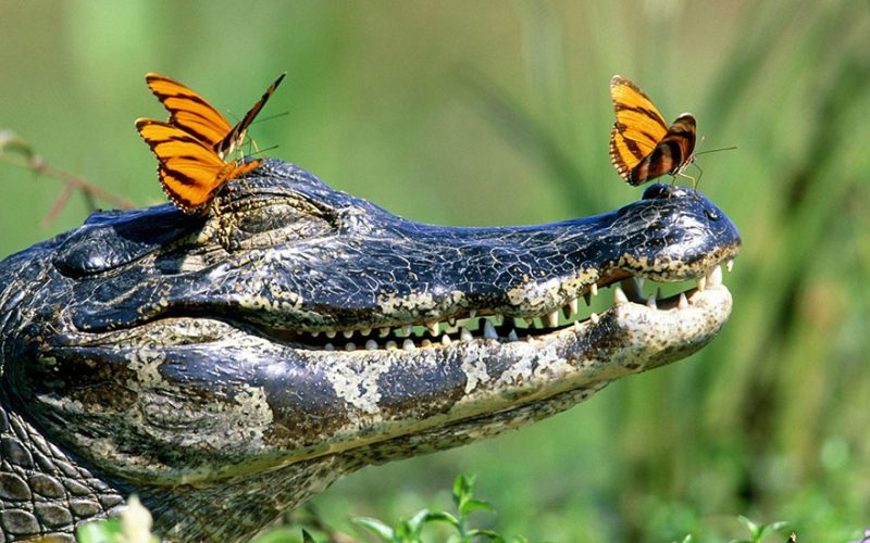 butterflies-drink-turtle-crocodile-tears-lacryphagy-fear-feeding-pictures-5