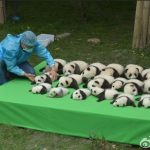 Adorable baby pandas oepn to the public for the first time