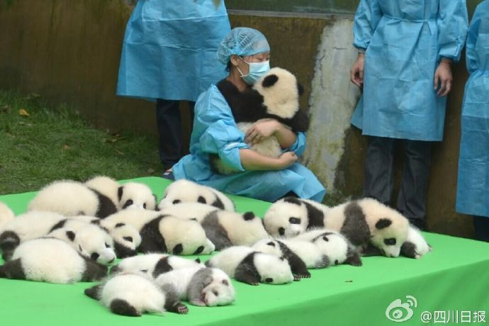 lovely-cute-giant-panda-cubs-baby-sleeping-together-6