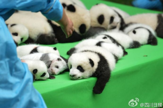 lovely-cute-giant-panda-cubs-baby-sleeping-together-7