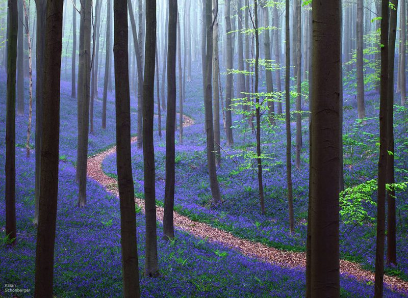 nature-photography-bluebell-forest-hallerbos-belgium-photos-1