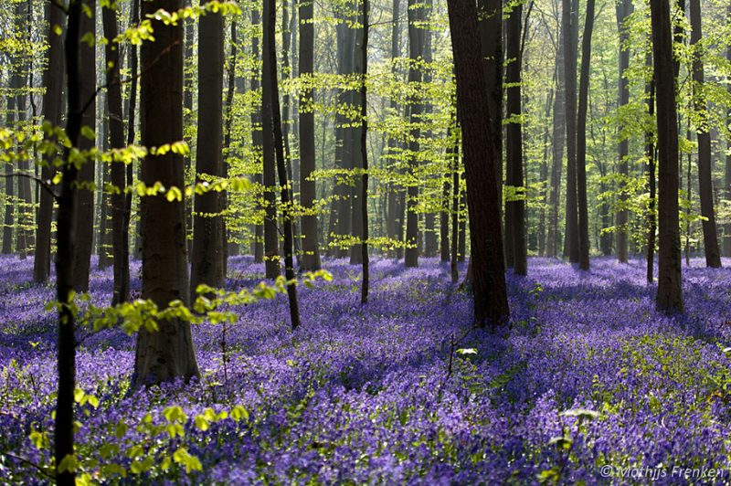 nature-photography-bluebell-forest-hallerbos-belgium-photos-10
