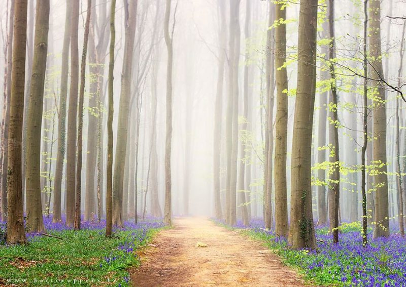 nature-photography-bluebell-forest-hallerbos-belgium-photos-12