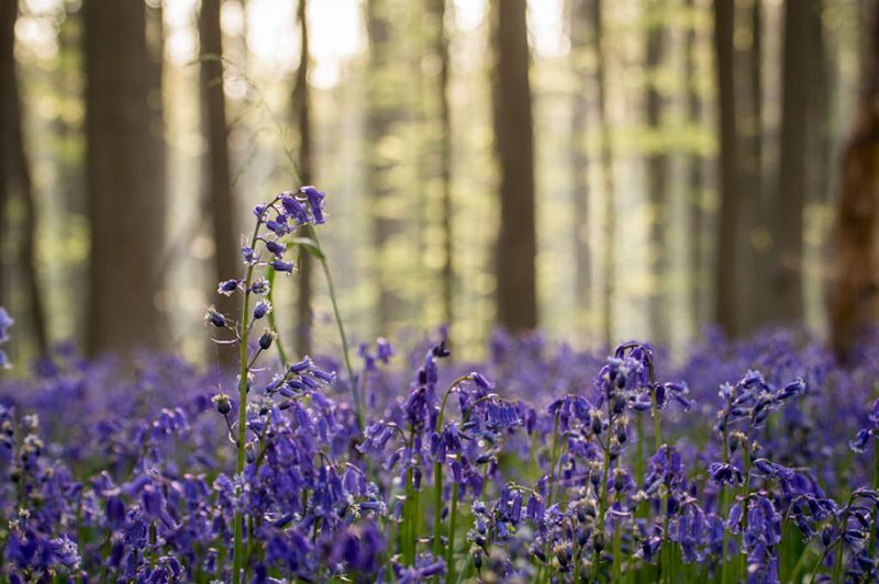 nature-photography-bluebell-forest-hallerbos-belgium-photos-13