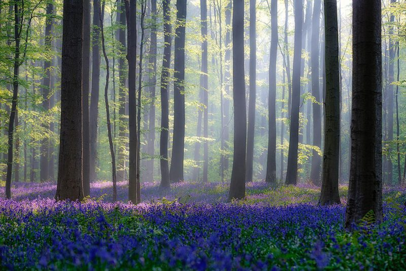 nature-photography-bluebell-forest-hallerbos-belgium-photos-14