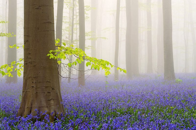 nature-photography-bluebell-forest-hallerbos-belgium-photos-4