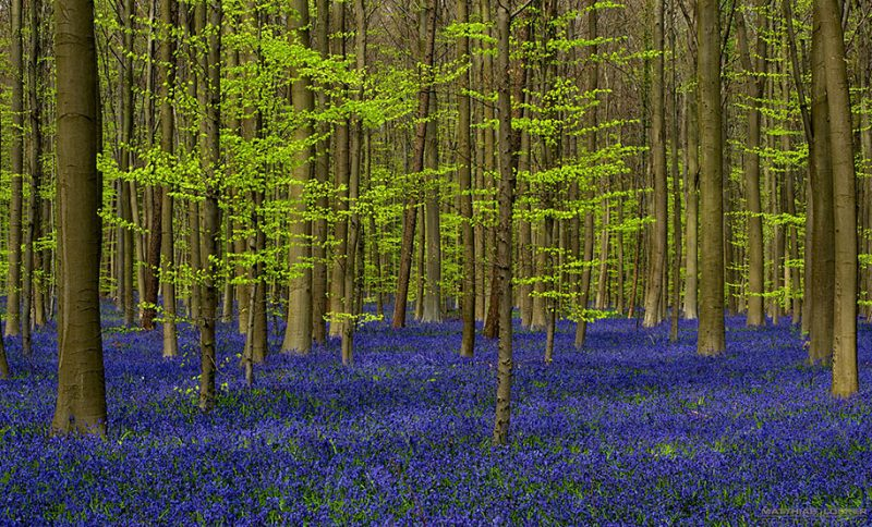 nature-photography-bluebell-forest-hallerbos-belgium-photos-6