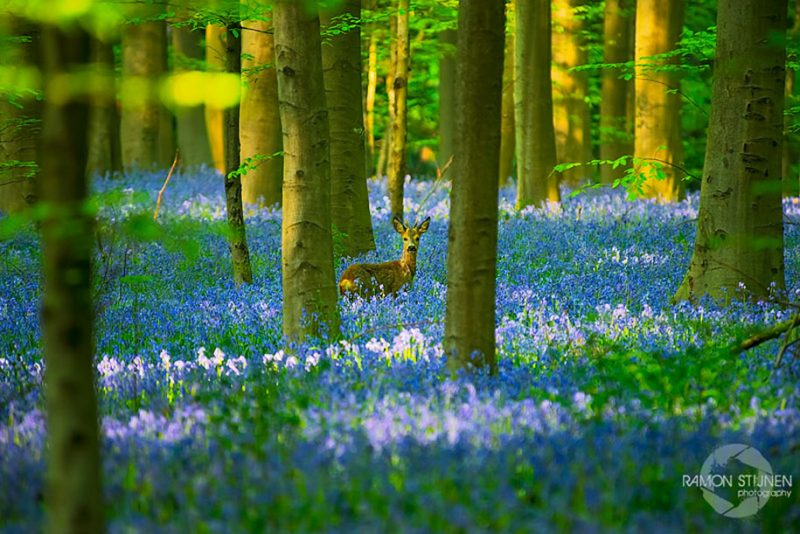 nature-photography-bluebell-forest-hallerbos-belgium-photos-7