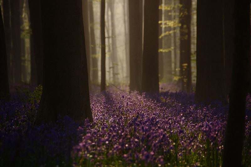 nature-photography-bluebell-forest-hallerbos-belgium-photos-8