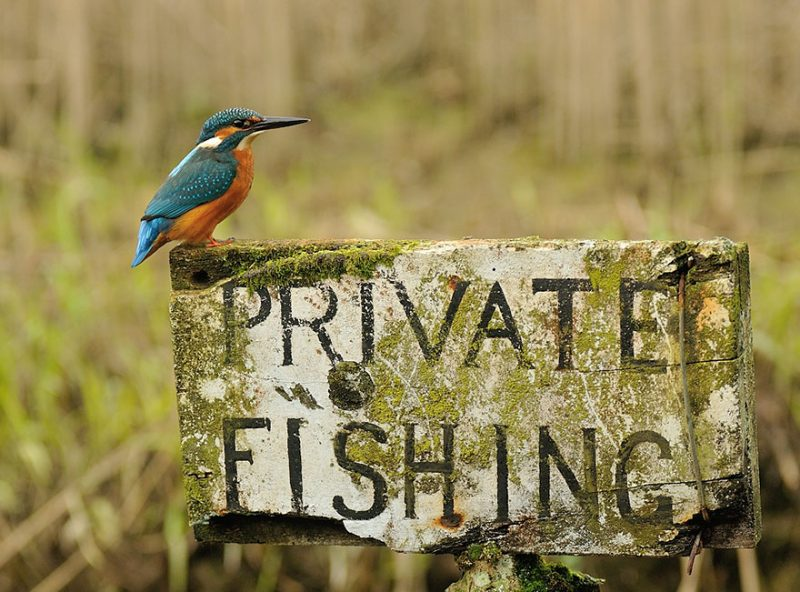wildlife-photography-perfect-kingfisher-dive-photo-1