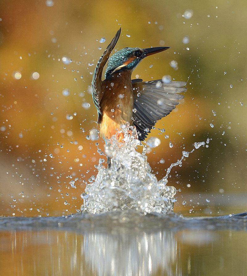 wildlife-photography-perfect-kingfisher-dive-photo-2