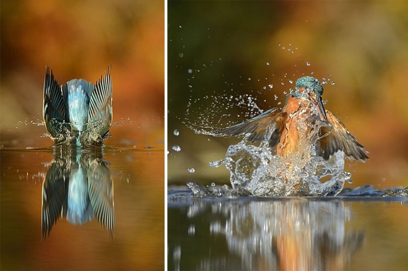 wildlife-photography-perfect-kingfisher-dive-photo-3