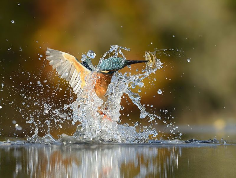 wildlife-photography-perfect-kingfisher-dive-photo-6