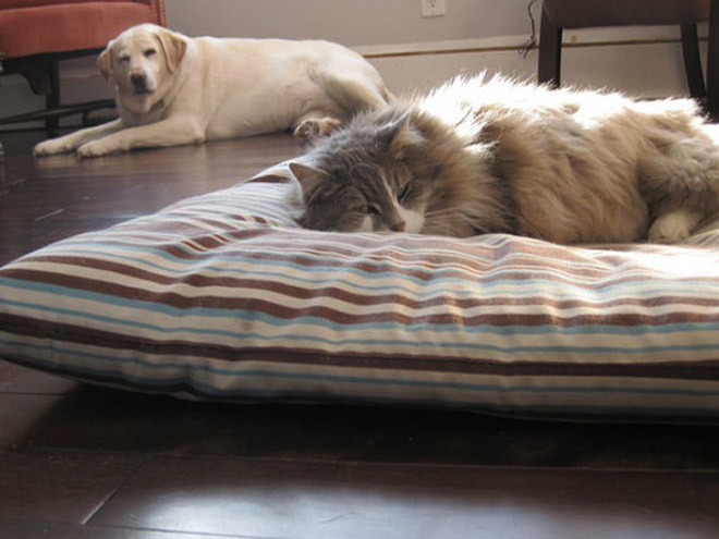 hilarious-funny-photographs-of-cats-steal-dogs-bed-11