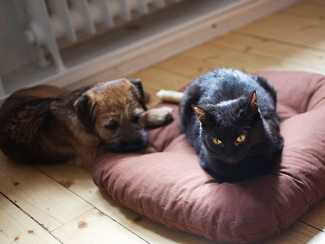hilarious-funny-photographs-of-cats-steal-dogs-bed-12