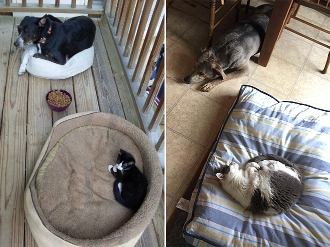 hilarious-funny-photographs-of-cats-steal-dogs-bed-13