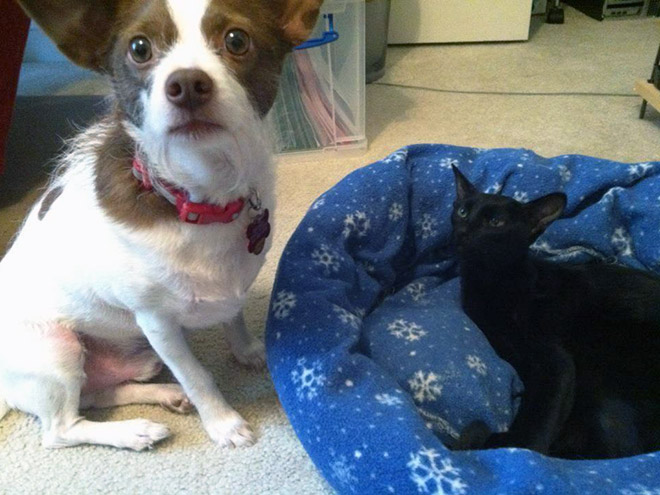 hilarious-funny-photographs-of-cats-steal-dogs-bed-16