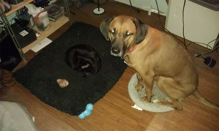 hilarious-funny-photographs-of-cats-steal-dogs-bed-17