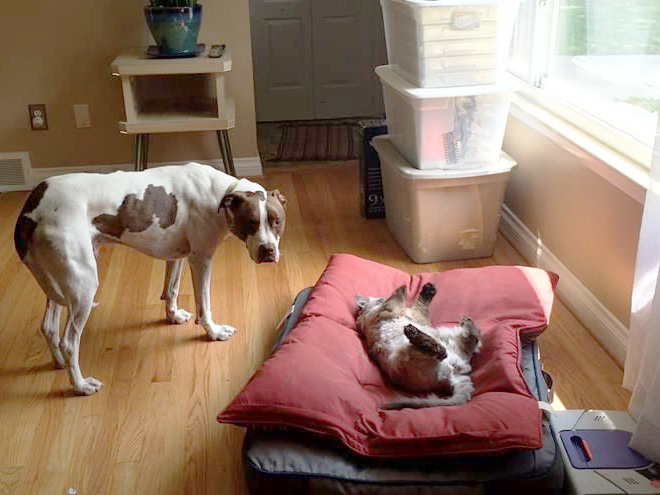 hilarious-funny-photographs-of-cats-steal-dogs-bed-2