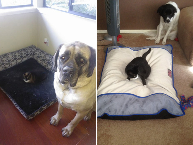 hilarious-funny-photographs-of-cats-steal-dogs-bed-3