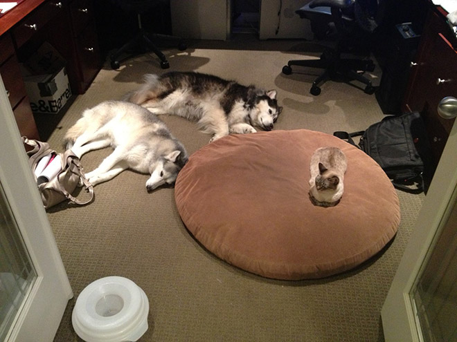 hilarious-funny-photographs-of-cats-steal-dogs-bed-4