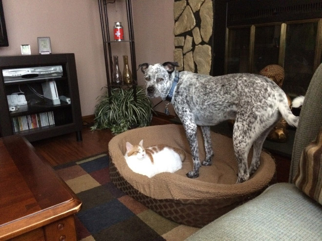 hilarious-funny-photographs-of-cats-steal-dogs-bed-6