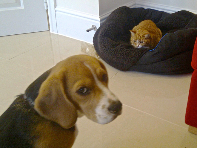 hilarious-funny-photographs-of-cats-steal-dogs-bed-8