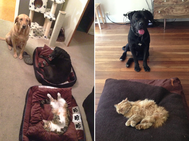 hilarious-funny-photographs-of-cats-steal-dogs-bed-9