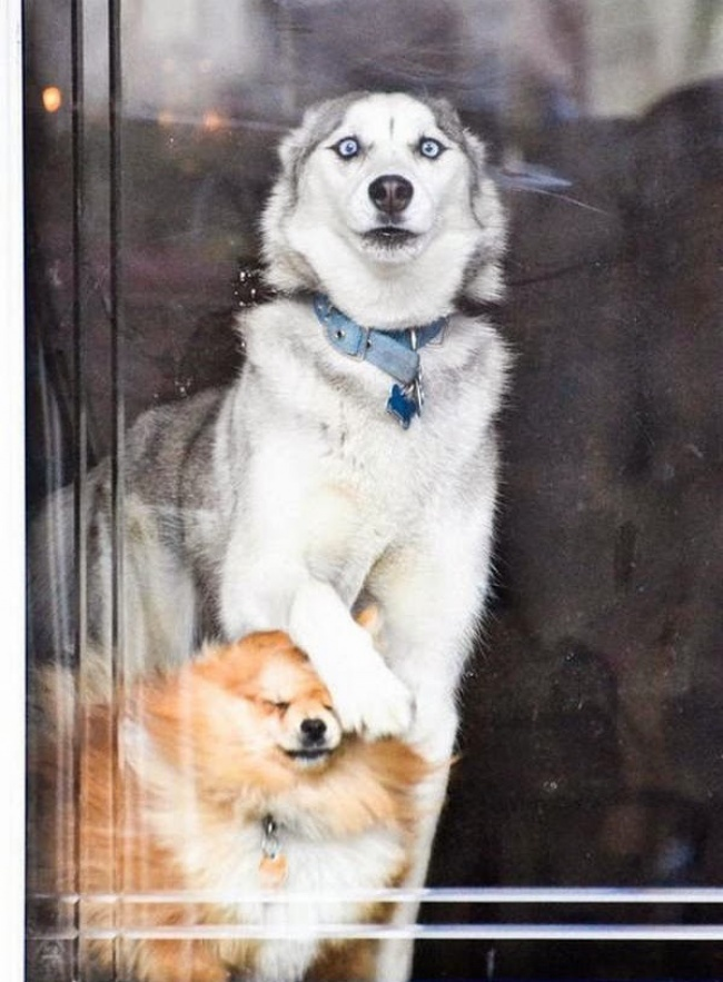 funny-hilarious-husky-dog-pictures-5