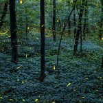 Amazingly beautiful light track of fireflies flying at night