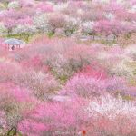 Breathtaking scenery of plum blossoms in Japan