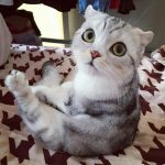This Scottish fold from Japan is a superstar on Instagram