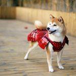 A Japanese company designs samurai armor for pets
