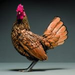 The most beautiful chicken photos ever taken in a collectable coffee table book